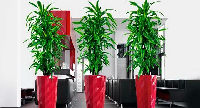 Растение драцена в офисе