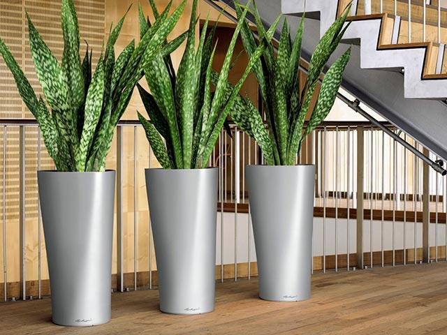 Растение сансевиерия в офисе