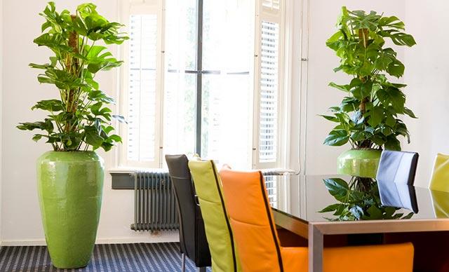 Растение монстера в офисе